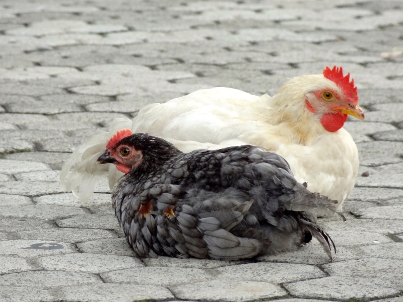 white and black rooster