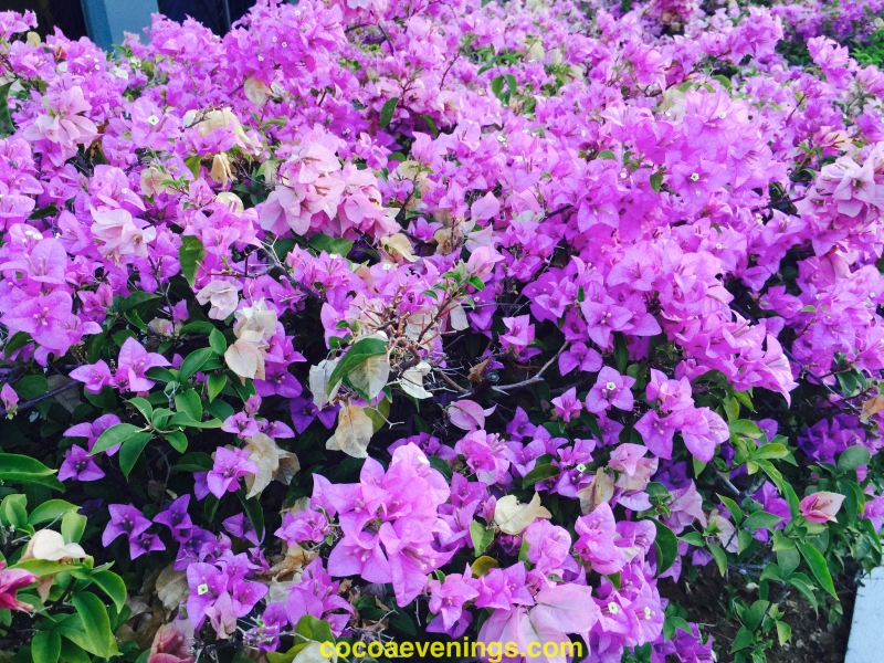 big bougainvillea bush