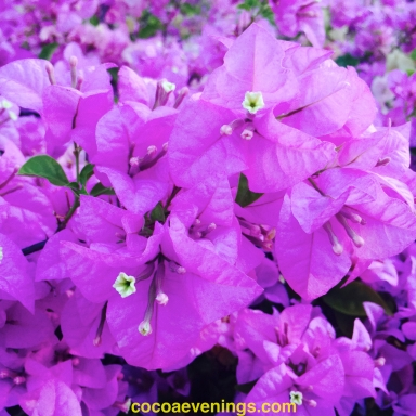 bougainvillea bush