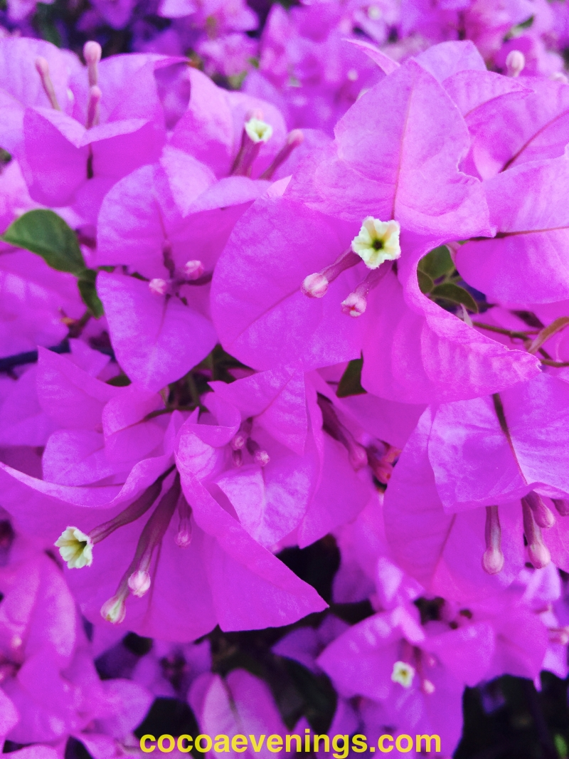 bougainvillea close up soft violet