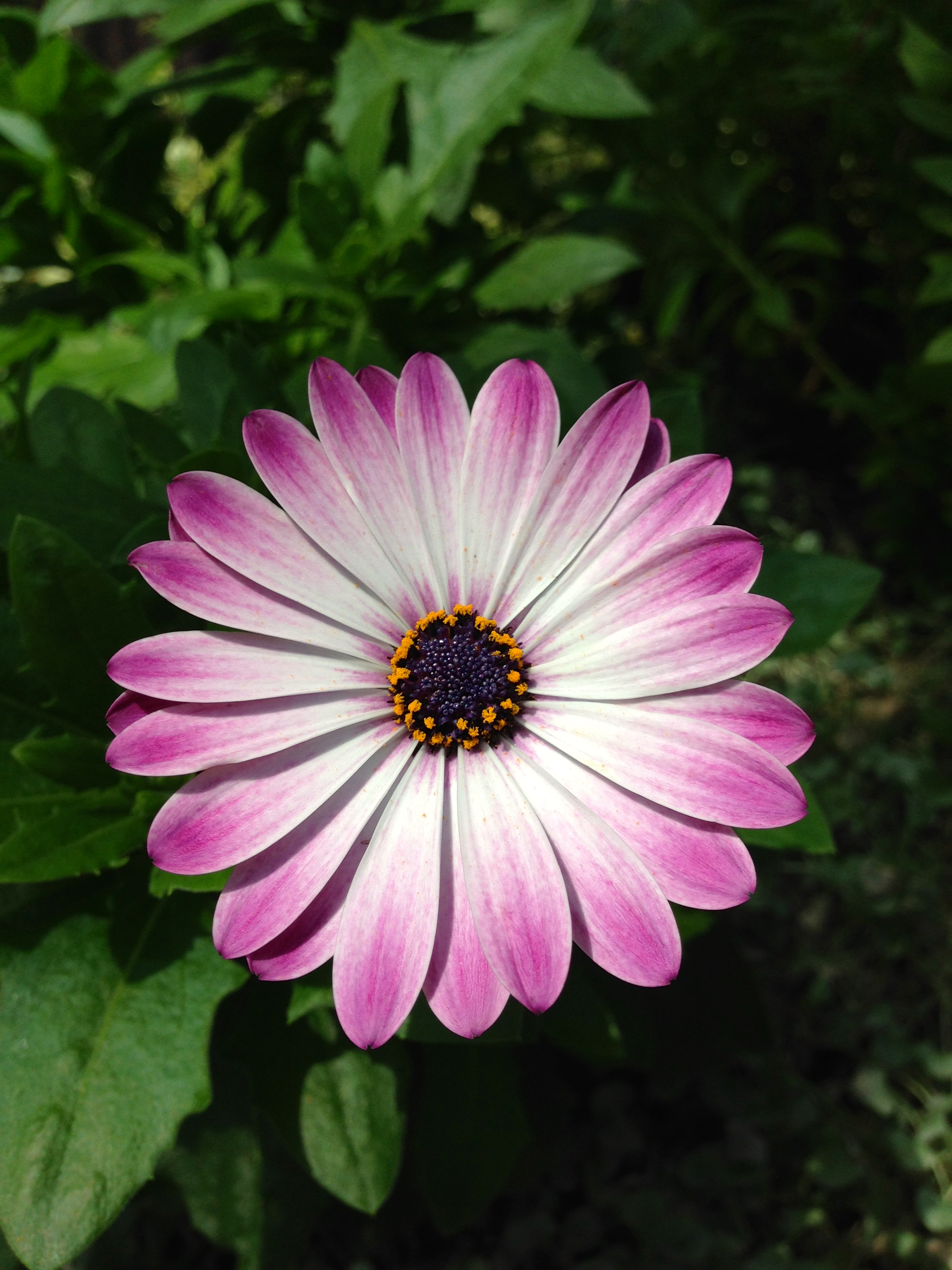 Flower Of The Day July 16 2015 Blue Eyed Daisy Cocoaevenings