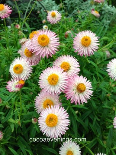 european daisies bellis perennis flower