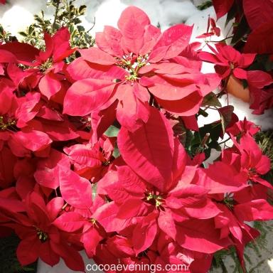 poinsettia euphorbia pulcherrima joel roberts poinsett united states mexico 1825