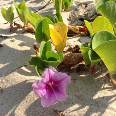 pink violet flower on the beach
