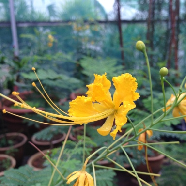 yellow flower with long stamen