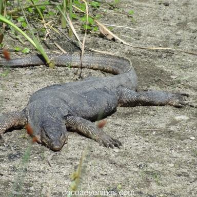 water-monitor-lizard-sungei-buloh-wetland-reserve-singapore-DSC09455