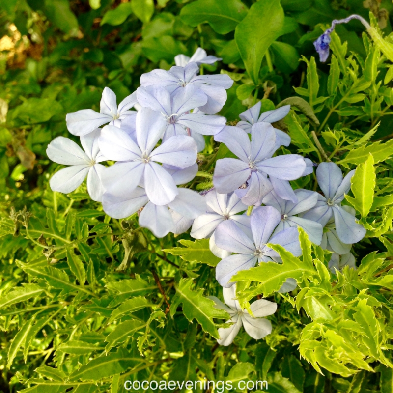 cape leadwort plumbago auriculata white flower five petals