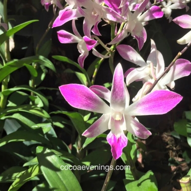pink-and-white-orchid-singapore-botanic-gardens