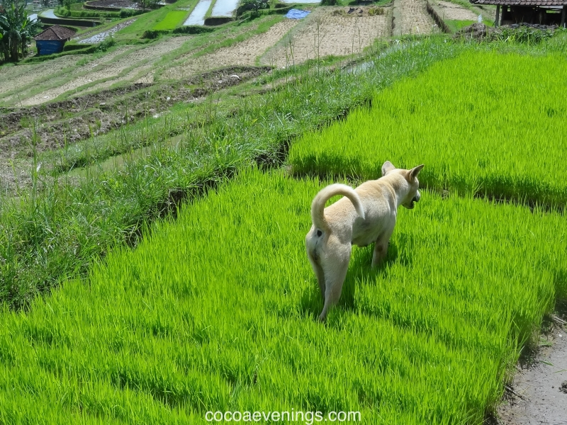 farm-dog-on-rice-padi-field-bali-indonesia