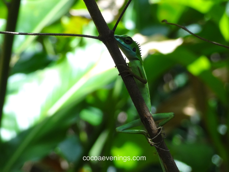 wild-gecko-perched-on-tree-branch-sungei-buloh-wetland-reserve