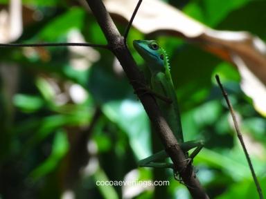 wild-gecko-watching-me-sungei-buloh-wetland-reserve