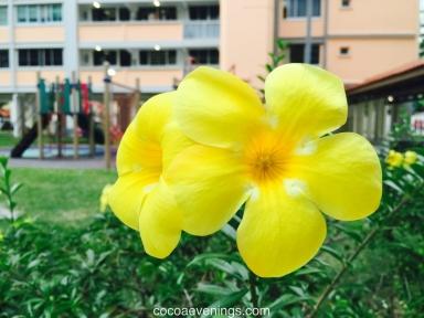 golden-trumpets-allamanda-cathartica-2015-08-05_18-42-41